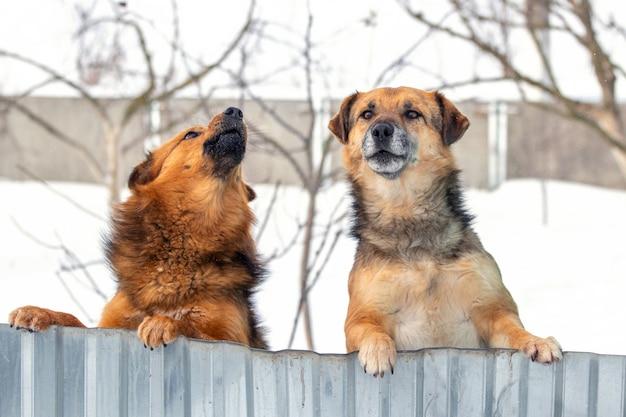 Twee waakhonden kijken uit vanwege het hek in de winter, staande op hun achterpoten. interessante grappige dieren