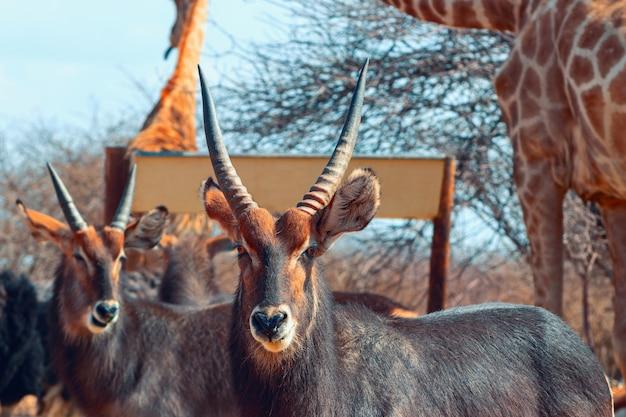 Twee waterbuck-mannetjes sluiten omhoog in lang gras. etosha nationaal park, namibië. wilde afrikaanse dieren.