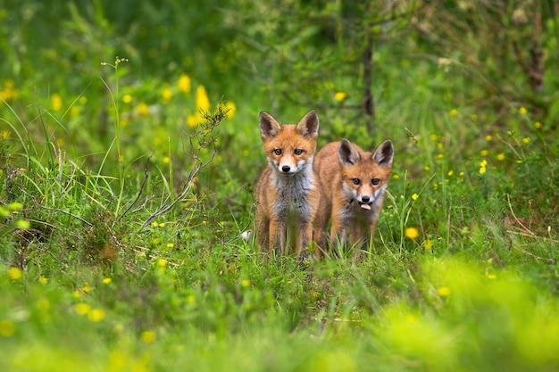 Twee welpen van rode vos die zich in het bos bevinden.