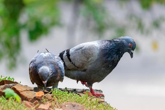 Twee wilde duiven op betonnen plaat met groen mos