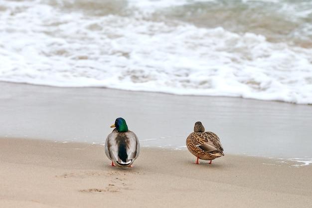 Twee wilde eend watervogels wandelen in de buurt van de oostzee. sluit omhoog van anas platyrhynchos, wilde eendeend. paar uiteenvallen concept.