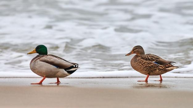 Twee wilde eend watervogels wandelen in de buurt van de oostzee Premium Foto