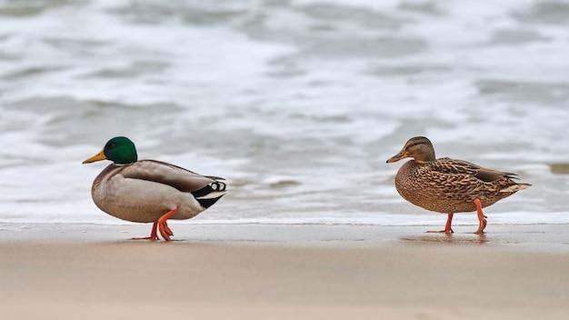 Twee wilde eend watervogels wandelen in de buurt van de oostzee