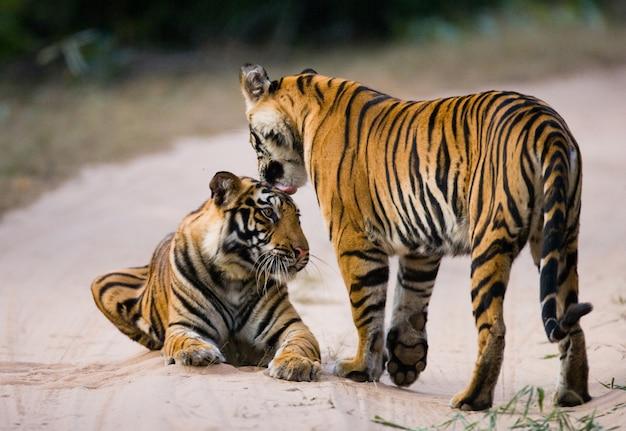 Twee wilde tijger op de weg. india.