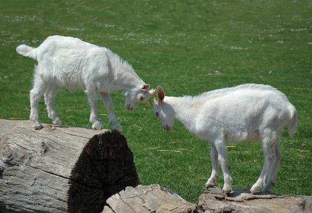 Twee witte baby geiten hoofd uitsteken