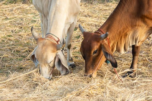 Twee witte en bruine koe op veld