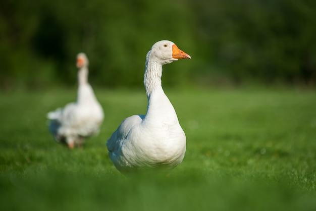Twee witte gans op lente groen gras