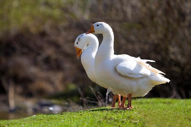 Twee witte grote ganzen die zich vreedzaam verenigen in groene grasrijke weide met donker vaag bos erachter op heldere zonnige dag. schoonheid van vogels, binnenlandse pluimveehouderij en bescherming van wilde dieren