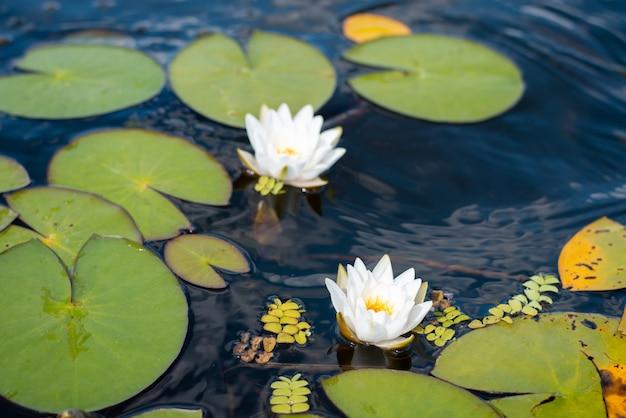 Twee witte heldere lotusbloemen in de rivier