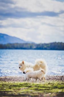 Twee witte honden die in een meerstrand spelen samojeed-hond