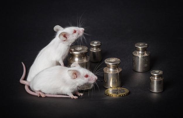 Twee witte laboratoriummuizen met gewichten en muntstukken op een grijze achtergrond. concept van het economische