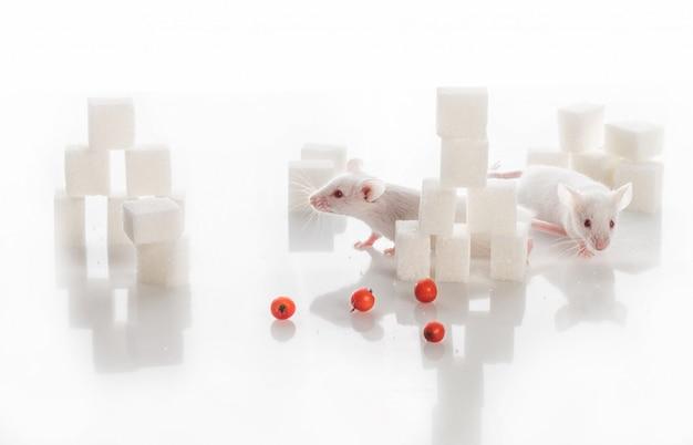 Twee witte laboratoriummuizen onder suikerkubussen, diabetesconcept