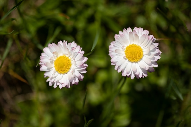 Twee witte margrietbloemen bloeien op veld