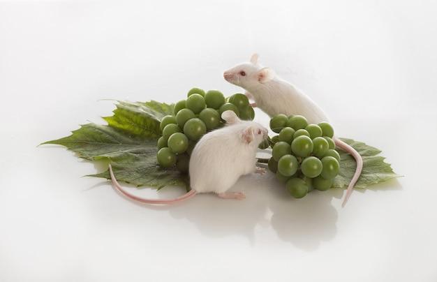 Twee witte muizen met trossen groene druiven op een witte achtergrond