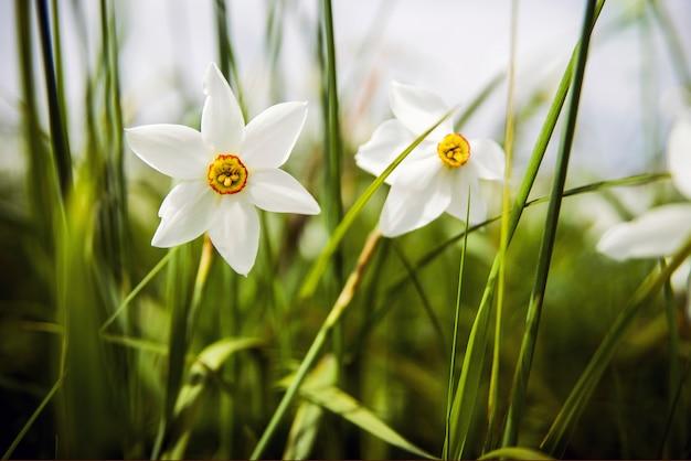 Twee witte narcissen op het veld