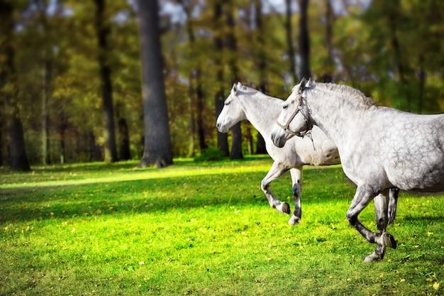 Twee witte paarden die op gazon lopen