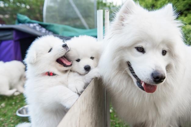 Twee witte pluizige samojeed-puppy's die uit het hek gluren