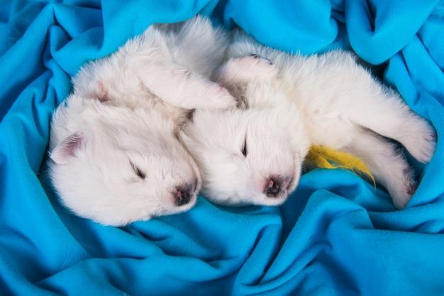 Twee witte samojeed-puppy's slapen in een deken