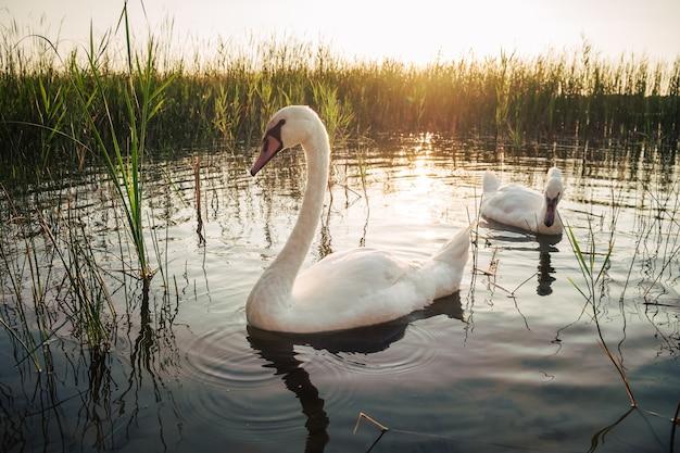 Twee witte zwaan vogels op het meer bij zonsondergang