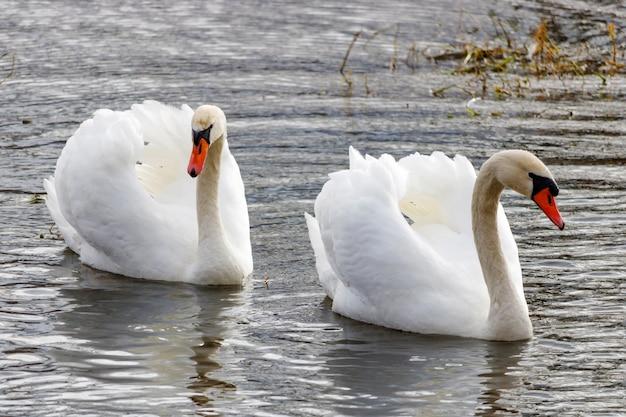 Twee witte zwanen met opgeheven vleugels die op rivieroppervlak zwemmen