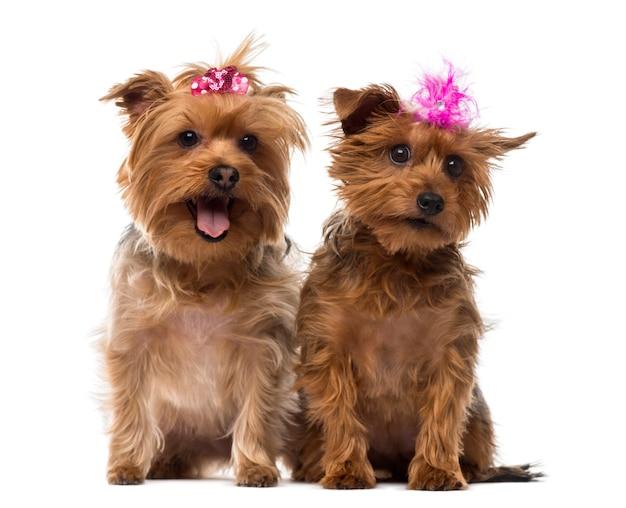 Twee yorkshire terrier met bogen