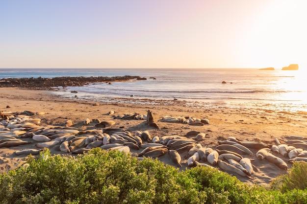 Twee zeeolifanten vechten en huilen naar elkaar bij elephant seal vista point