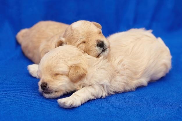 Twee zeer kleine maltipu-puppy's slapen in een omhelzing. fotoshoot op een blauwe achtergrond