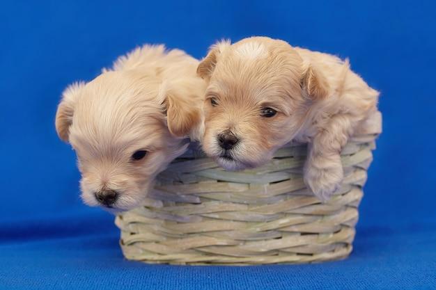 Twee zeer kleine maltipu-puppy's zitten in een rieten mand. fotoshoot op een blauwe achtergrond.