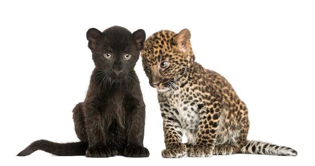 Twee zwarte en gevlekte luipaardwelpen