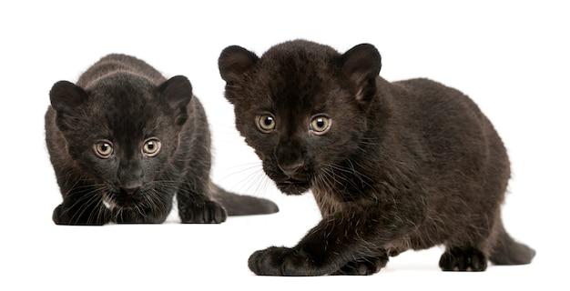 Twee zwarte luipaardwelpen die rondsnuffelen en isolat staren