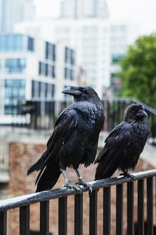Twee zwarte raven in de tower of london, uk. gemeenschappelijke raaf (corvus corax).