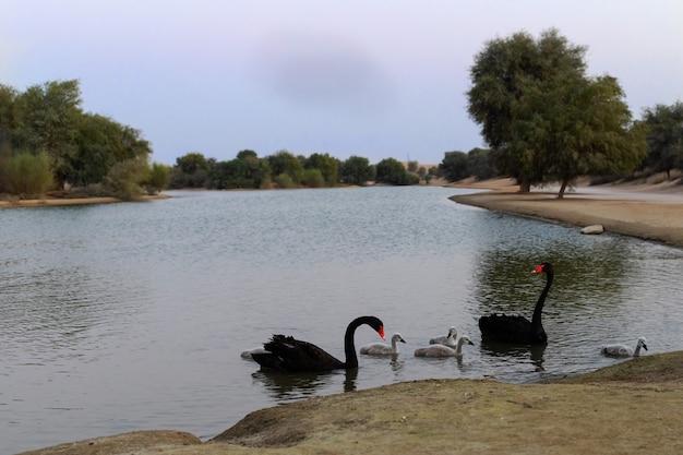 Twee zwarte zwanen met hun jongen op een kunstmatig meer in een woestijn in dubai