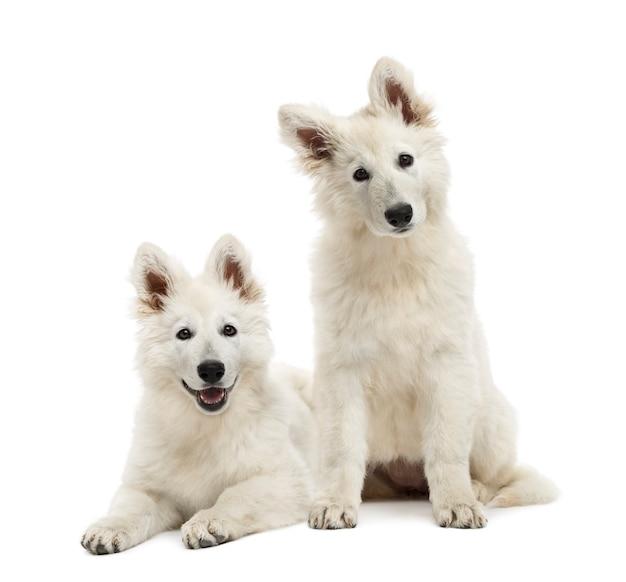 Twee zwitserse herder pups zitten en liggen