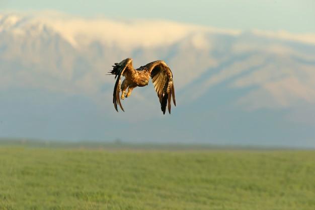 Tweejarig vrouwtje dat met het eerste daglicht vliegt op een koude winterochtend met de met sneeuw bedekte bergen