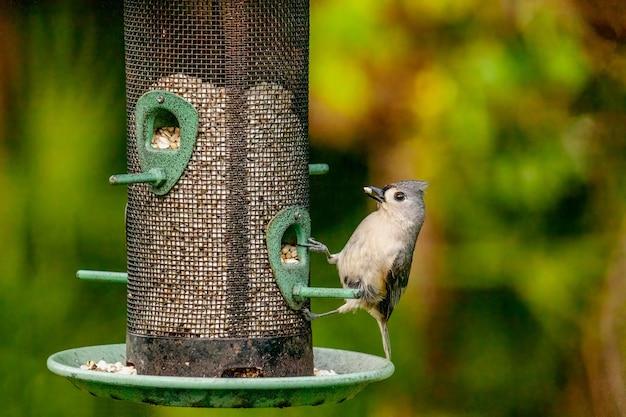 Tweekleurige mees die uit een vogelvoeder eet