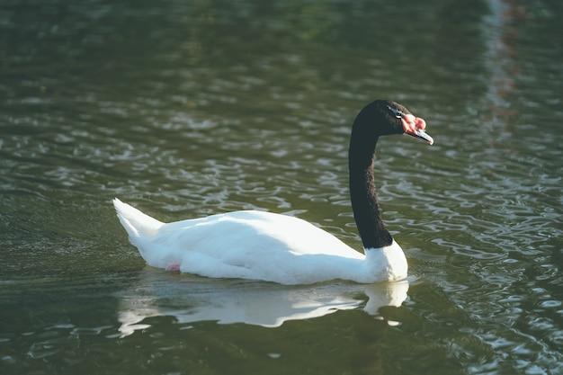 Tweekleurige zwarte nek en witte gans zweven over de rivier in vintage toon.