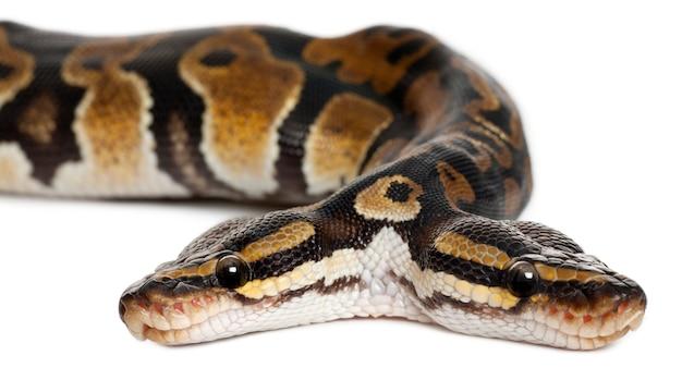Tweekoppige royal python of ball python - python regius