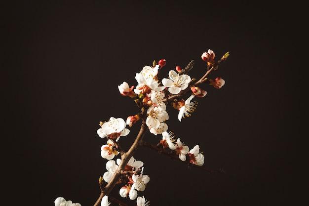 Twijg van bloeiende abrikoos op een zwart oppervlak.
