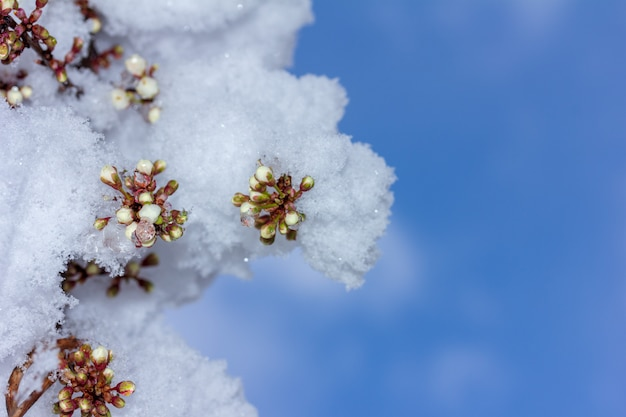 Twijg van bloeiende kersenpruim bedekt met plotseling gevallen sneeuw tegen de blauwe hemel, onderaanzicht