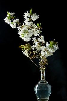Twijg van bloeiende witte kersenbloesems op zwart