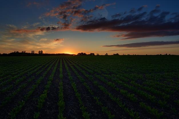 Twilight hemel met wolken bij zonsopgang boven een veld met landbouwplantages.