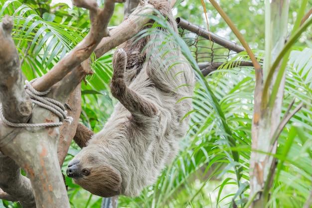 Two-toed luiaard op boom in de dierentuin