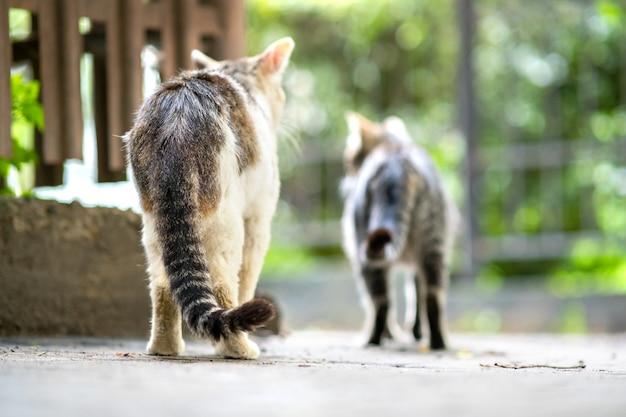 Twp grijs en wit gestreepte katten wandelen langs de straat buiten op zomerdag.