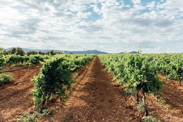 Typisch wijngaardgebied. blauwe hemel achtergrond