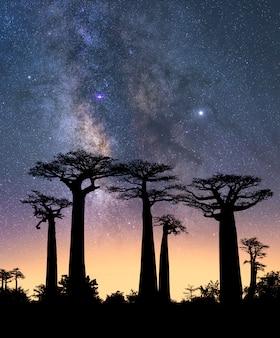 Typische bomen van madagascar die bekend staan als adansonia, baobab, flessenboom of apenbrood met een nachtelijke hemel