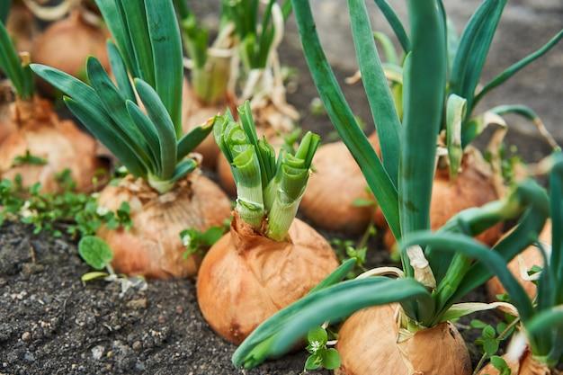 Ui planten in de tuin. aanplanting in de moestuin landbouw