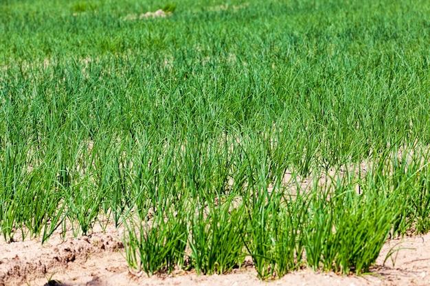 Uien landbouw veld