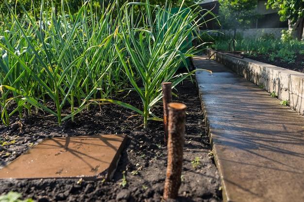 Uienplanten groeien in een lente-moestuin naast een betonnen keermuur die de bedden van groenten scheidt