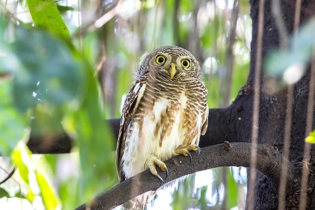 Uil, aziatische gestreepte owlet (glaucidium cuculoides) op boom in de natuur