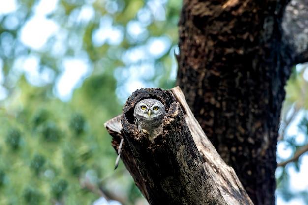 Uil, gevlekte owlet (athene brama) in de natuur